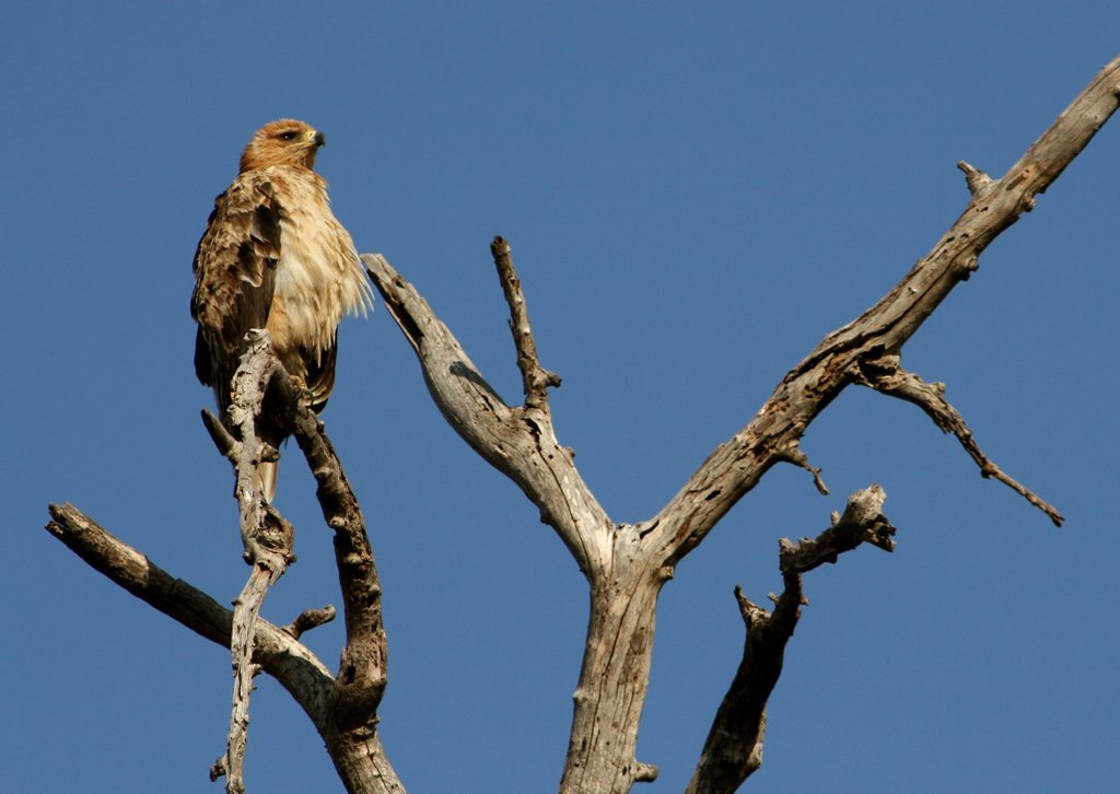 Martial eagle (Polemaetus bellicosus) perching on a tree branch, Okavango Delta, Botswana : Stock Photo