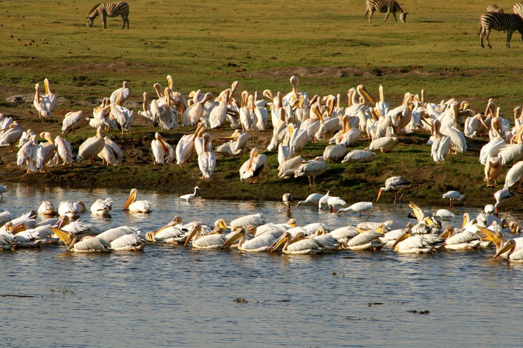 Flock of storks and pelicans at the lakeside, Okavango Delta, Botswana : Stock Photo