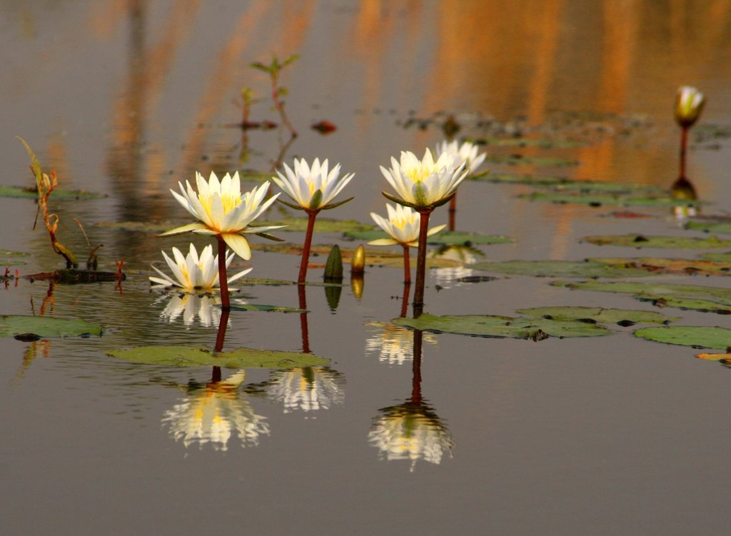 Stock Photo: 1818-222 Reflection of water lilies in water, Okavango Delta, Botswana