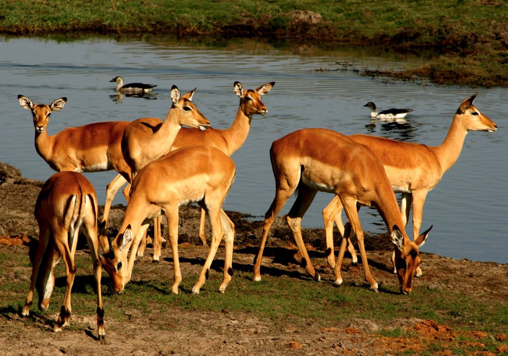 Stock Photo: 1818-223A Herd of impalas (Aepyceros melampus) at riverside, Chobe National Park, Botswana