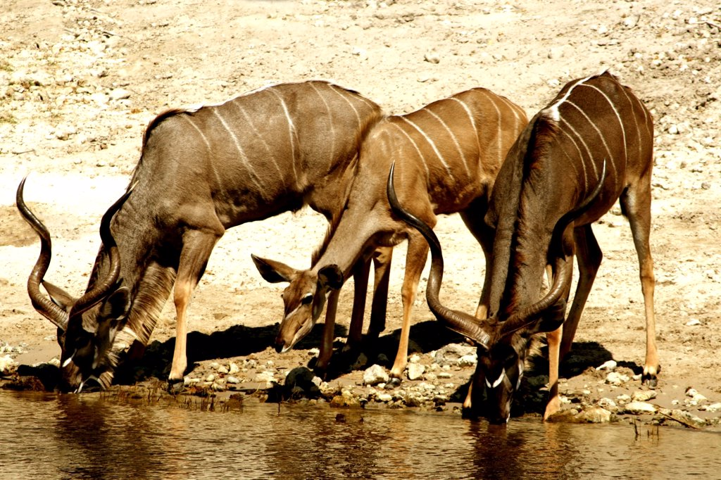 Stock Photo: 1818-224A Three kudus drinking water at the riverside, Chobe River, Botswana