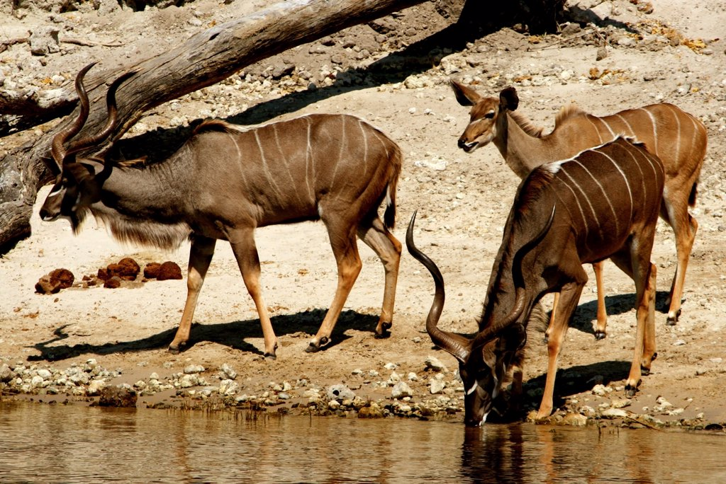 Three kudus at the riverside, Chobe River, Botswana : Stock Photo