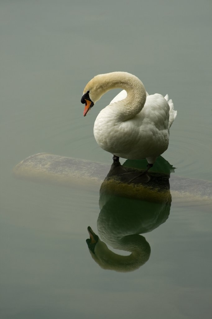 Stock Photo: 1818-252 Swan in a lake, Lake Bled, Bled, Slovenia