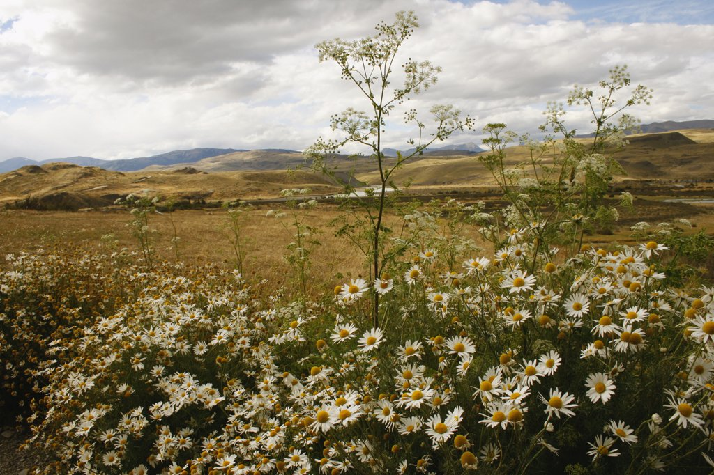 Stock Photo: 1818-296 Daisy flowers in a field, Argentina