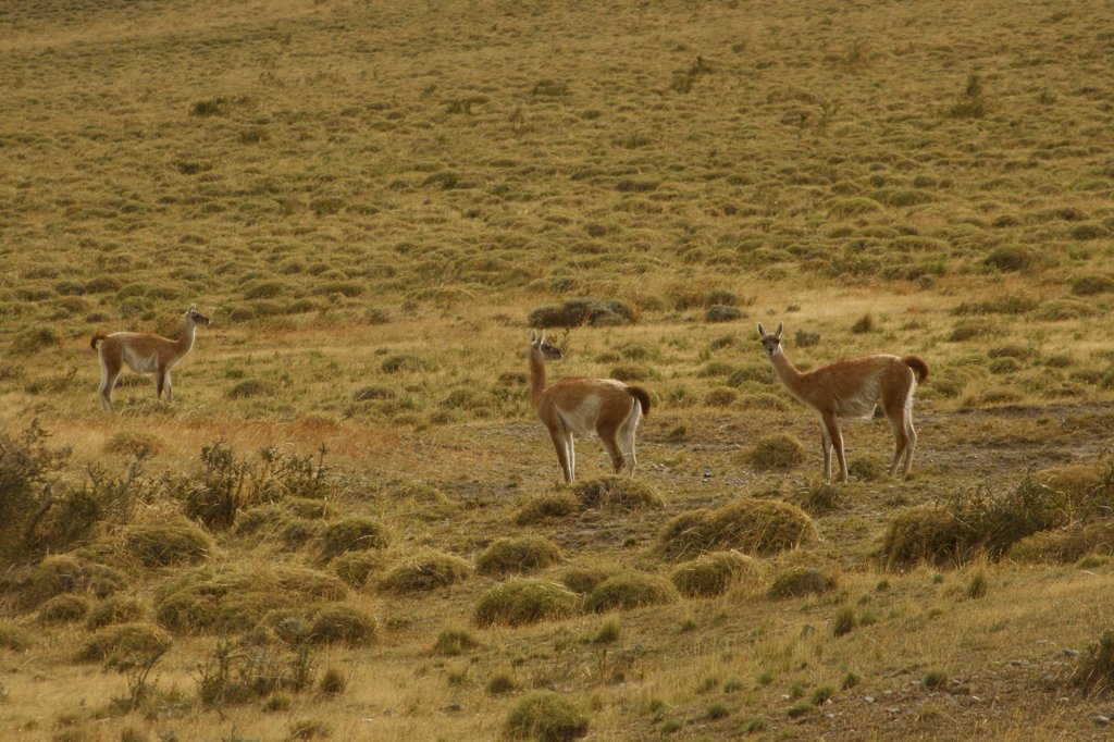 Stock Photo: 1818-302 Three wild guanacos in a field, Patagonia, Chile