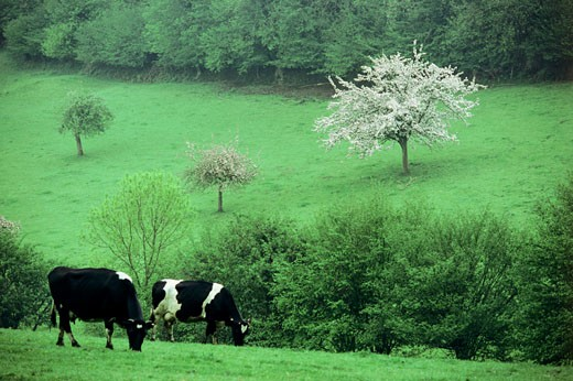 Cows Grazing With Apple Tree