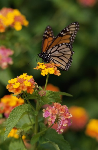Monarch Butterfly : Stock Photo