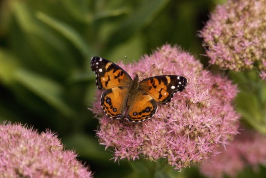 American Painted Lady Butterfly : Stock Photo
