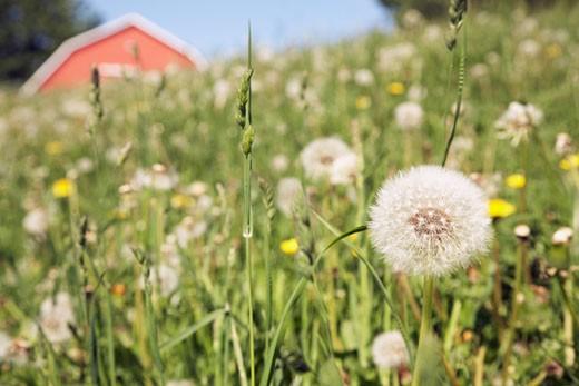 Dandelions Growing Near Barn : Stock Photo