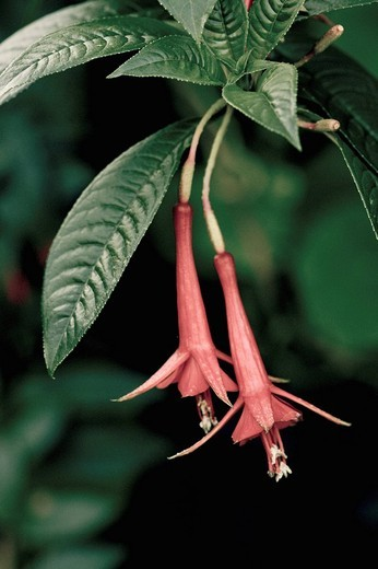 Fuchsia : Stock Photo