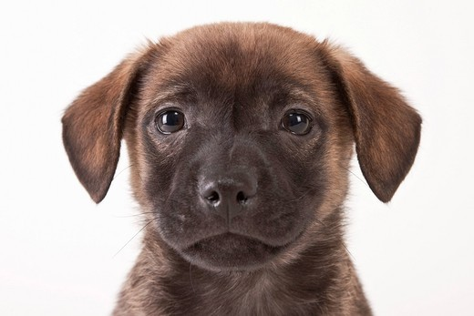 Studio portrait of brown cute puppy : Stock Photo