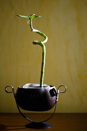 Lucky bamboo on a table : Stock Photo