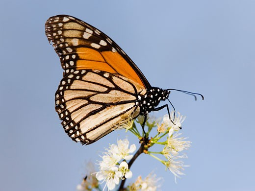 Stock Photo: 1828R-10377 Monarch Butterfly on Branch