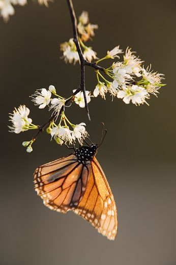 Stock Photo: 1828R-10382 Monarch Butterfly on Branch