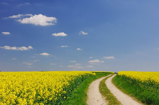 Stock Photo: 1828R-11065 Path in Canola Field, Bavaria, Germany