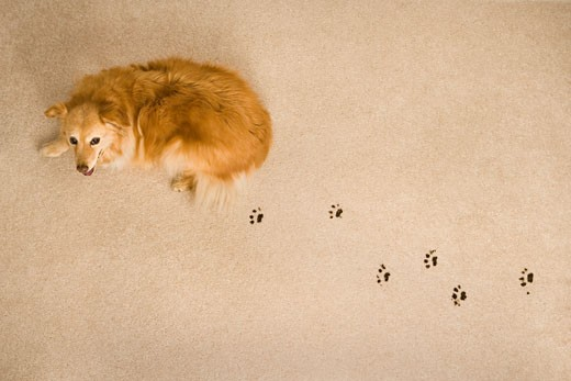 Dog Prints on Carpet    : Stock Photo