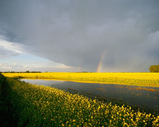 Stock Photo: 1828R-1293 Canola Field Red Deer, Alberta, Canada
