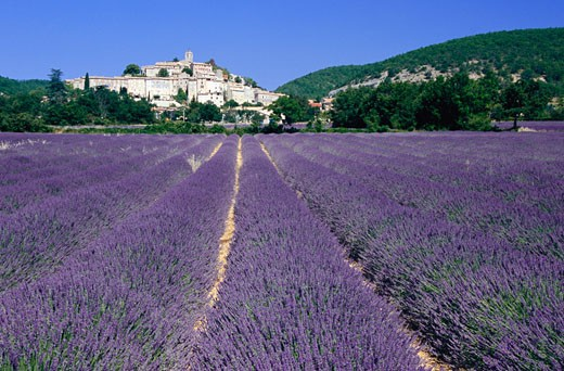 Stock Photo: 1828R-13455 Lavender Field in Banon, Provence, France