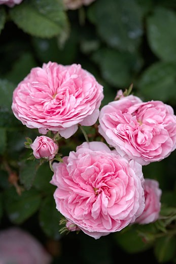 Stock Photo: 1828R-13508 Petite de Hollande Centifolia Rose