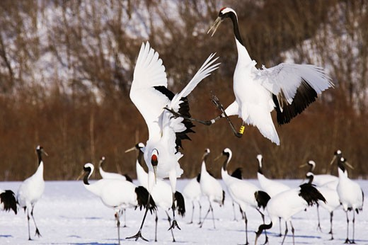 Red-crowned Cranes Displaying, Hokkaido, Japan    : Stock Photo