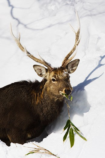 Stock Photo: 1828R-13748 Sika Deer Eating, Shiretoko Peninsula, Hokkaido, Japan