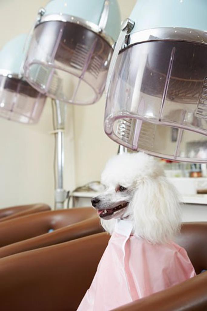 Stock Photo: 1828R-15120 Portrait of Poodle at Hair Salon