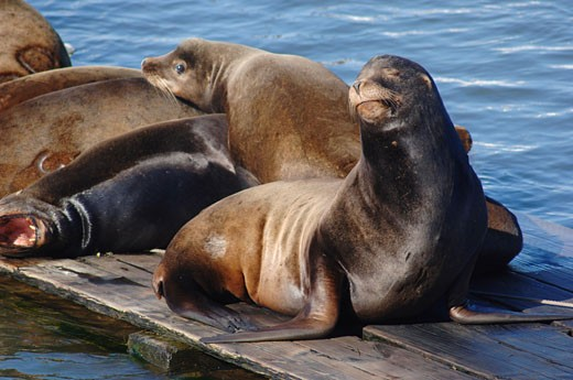Stock Photo: 1828R-16642 Seals Sunning Themselves