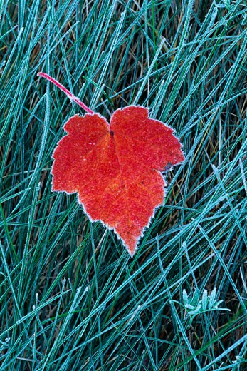 Stock Photo: 1828R-1726 Frost on Autumn Maple Leaf