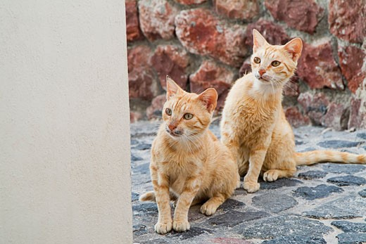 Cats on Cobblestone, Oia, Santorini, Cyclades Islands, Greece    : Stock Photo