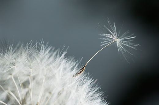Stock Photo: 1828R-17612 Close-up of Dandelion