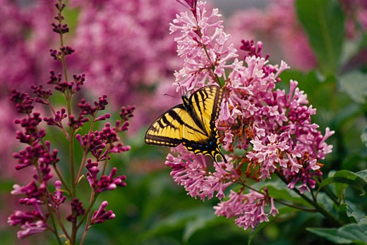 Stock Photo: 1828R-17636 Swallowtail Butterfly on Lilac Blossom