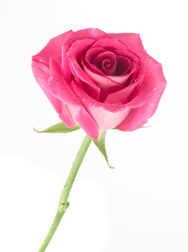 Stock Photo: 1828R-17839 Pink Rose