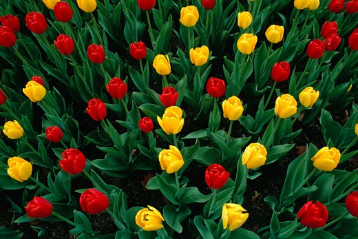Stock Photo: 1828R-1821 Tulips