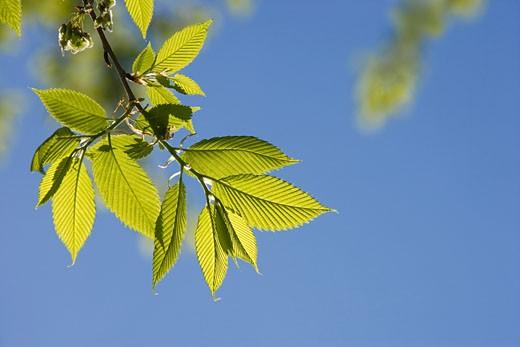 Elm Leaves in Spring    : Stock Photo
