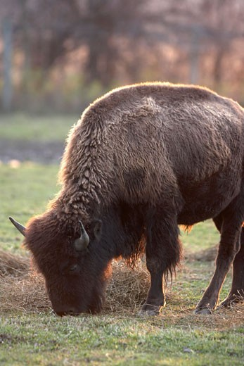 Bison Eating, Barrie, Ontario, Canada    : Stock Photo