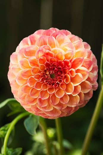 Dahlia in Bloom    : Stock Photo