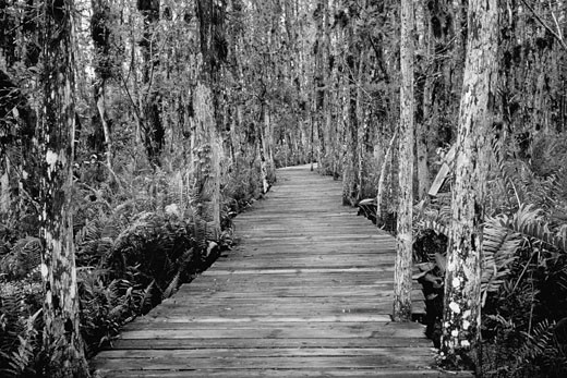 Boardwalk Through Everglades Florida, USA    : Stock Photo