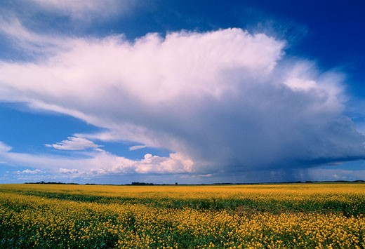 Stock Photo: 1828R-2271 Canola Field and Storm Clouds East of Outlook Saskatchewan, Canada