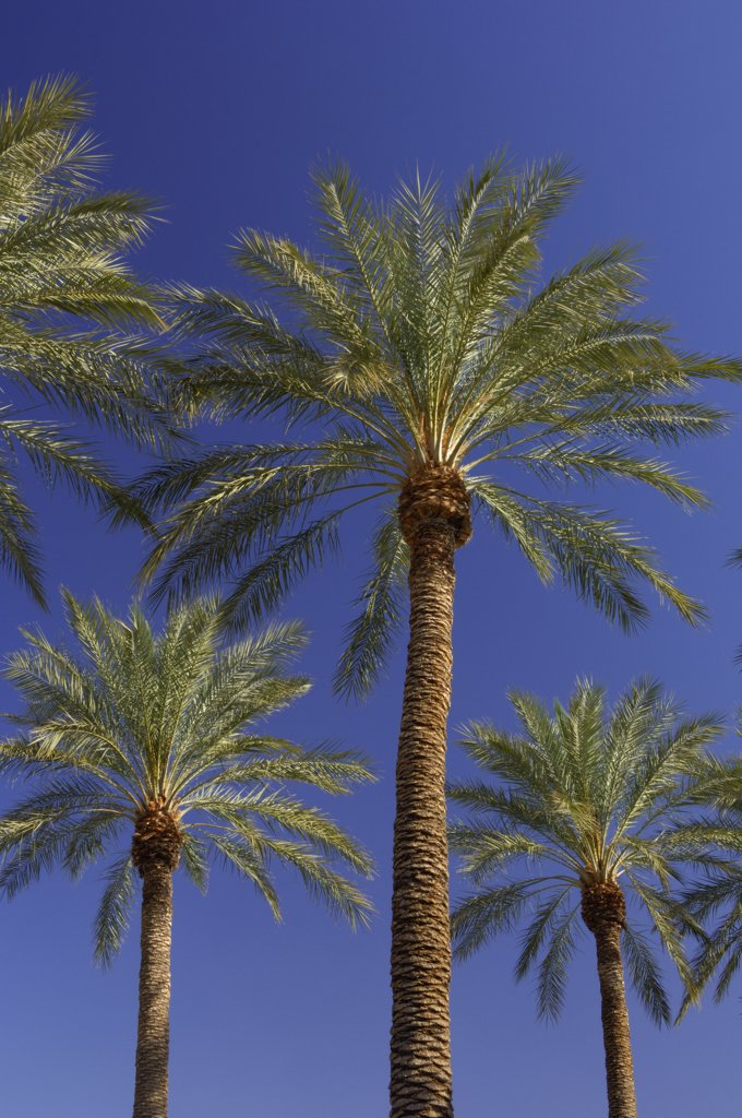 Stock Photo: 1828R-22934 Palm Trees, Las Vegas, Nevada, USA