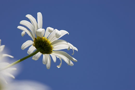 Stock Photo: 1828R-24127 Daisies, Verona, New York, USA