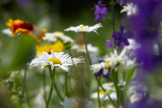 Stock Photo: 1828R-24128 Daisies, Verona, New York, USA