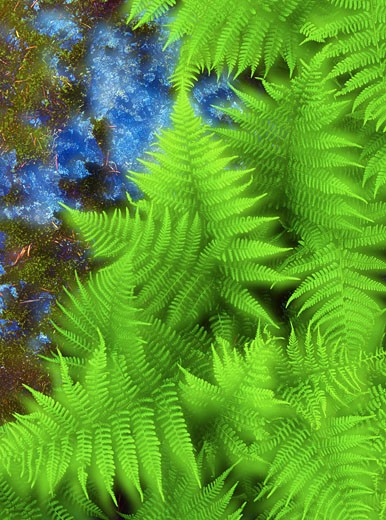 Stock Photo: 1828R-2545 Close-Up of Ferns British Columbia, Canada