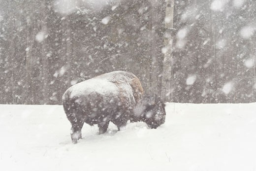Stock Photo: 1828R-25668 Bison in Snowstorm