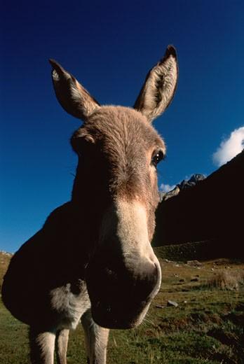 Stock Photo: 1828R-2593 Portrait of Burro Cordillera Huayhuash, Peru