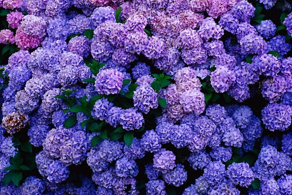 Blue Hydrangea    : Stock Photo