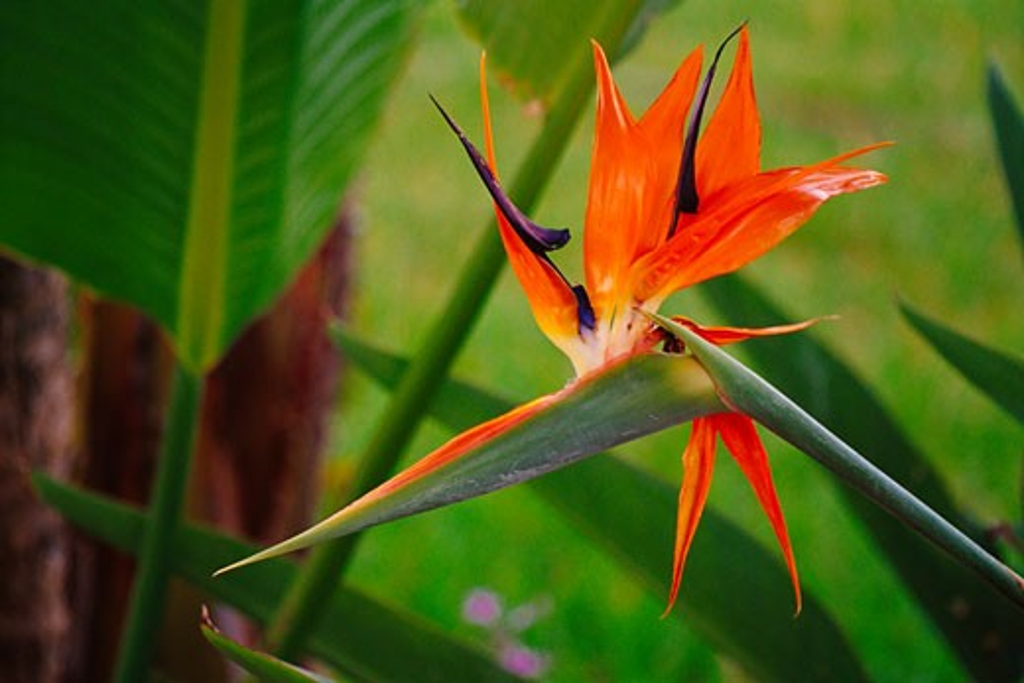 Birds of Paradise Flower    : Stock Photo