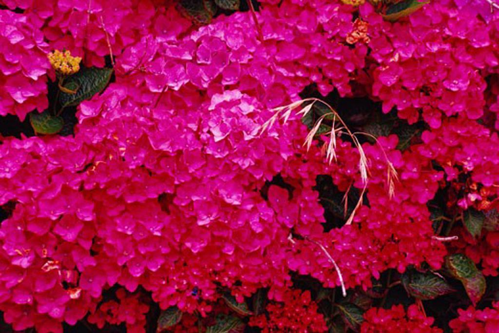 Stock Photo: 1828R-26474 Pink Hydrangea