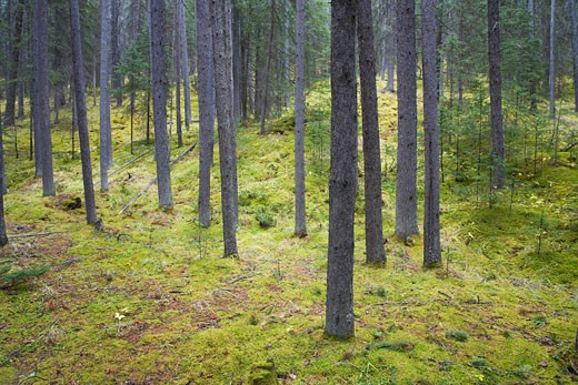 Stock Photo: 1828R-26837 Forest and Moss, Banff National Park, Alberta, Canada