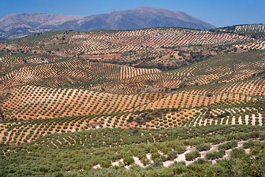 Stock Photo: 1828R-27476 Overview of Olive Orchards, Andalucia, Spain