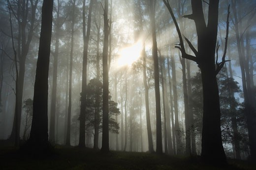 Stock Photo: 1828R-27883 Sunrays Through Morning Fog, Dandenong Ranges, Victoria, Australia